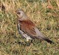Fieldfare - Mike Noble