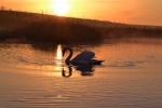 Mute Swan---Graham Telford