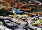 Grey Wagtail - Mike N