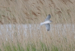 Little Gull---Robert Dawson
