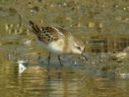 Little Stint - DIH
