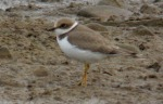 Little Ringed Plover - DIH