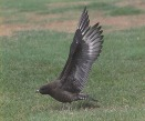 Blast from the past. Long-tailed Skua, Middleton park golf course 1989 - DIH