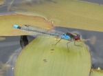 Red-eyed Damselfly - GR