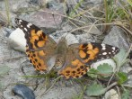 Painted Lady---Mike Pullan