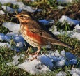 Redwing - Mike Noble
