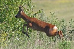 Roe Deer - DAH
