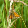 Small Skipper---Peter Haigh