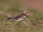 Snow Bunting - Jim Welford