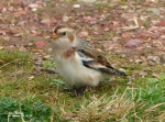 snow bunting - gordon r