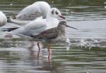 Spotted Redshank - DIH