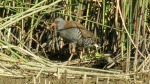 Water Rail  - DIH