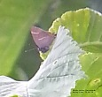 White-letter Hairstreak - GR