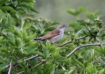 Whitethroat---Mike Noble