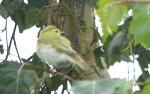 Wood Warbler - DIH