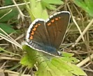 Brown Argus (m) (phone again - GR