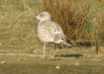 Washed out Herring Gull - DIH