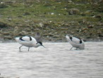 Avocets - Gordon Rickers