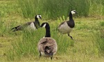 Barnacle Geese 5th June - MN