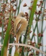 Bearded Tit - GYL