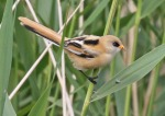 Bearded Tit - Jim Welford