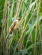 bearded Tit1 - GYL