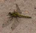 Black-tailed Skimmer - JK