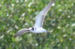 Black Tern - GYL