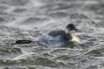 Black-necked Grebe - Rob Dawson