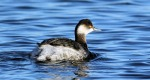 Black-necked Grebe - Darren Ward