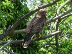 Common Buzzard - MN