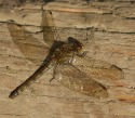 Common Darter - JK