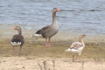 Another dodgy goose - MN
