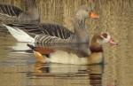 Egyptian Goose - Lawrie Phipps