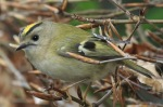 Goldcrest - Mike Noble