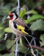 Goldfinch - MN