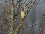 Green Woodpecker - DIH