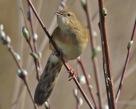 Grasshopper Warbler - Jim Welford