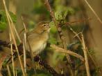 Grasshopper Warbler - DIH