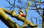 Great-spotted Woodpecker - Paul Coates