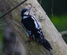 Great Spotted Woodpecker - Mike Pullan