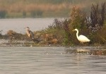 Great White Egret - PRG
