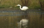 Great White Egret - DIH
