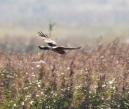 Hen Harrier - Nathian Brook