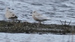 Iceland Gull - Jim Welford