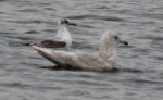 2nd winter Iceland gull - DIH