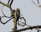Lesser spotted Woodpecker - Dave Aitken