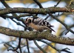 Lesser spotted Woodpecker - DIH
