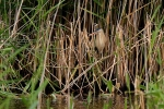 Little Bittern - Chris Downes