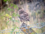 little owl - RD